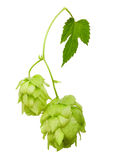 Hop with leaf isolated Royalty Free Stock Images