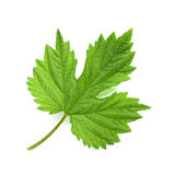 Hop leaf on white Royalty Free Stock Photography