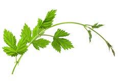 Hop leaf on white Royalty Free Stock Photos