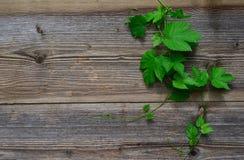 Hop leaf wooden background Stock Images