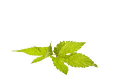 Hop leafs Stock Photo