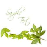 Hop leafs Stock Photo