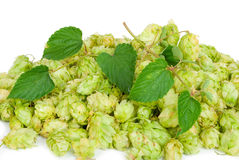 Hop with leaves Stock Image