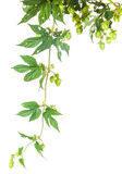 Hop leaves Stock Image