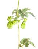 Hop leaves on a stem Stock Images