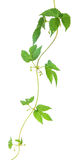 Hop leaves on a stem Royalty Free Stock Photo