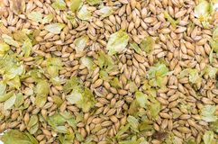 Hop and malt. Beer ingredients. Mix of green dry hop leaves and malt grain close up top view background. Brewery royalty free stock image