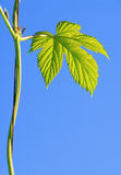 Hop plant Royalty Free Stock Photo