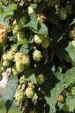Hop plant Stock Images