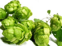 Hop-plant Royalty Free Stock Image