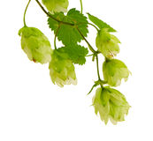 Hop plant for beer production isolated on white Stock Image