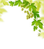 Hop plant border. Decorative frame with fresh hop branches, isolated on white background Royalty Free Stock Photos