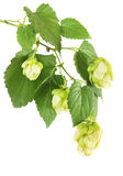 Hop plant branch Stock Photo