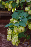 Hop plant. Close up growing on a farm stock photography