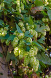Hop plant. Close up growing on a farm royalty free stock images