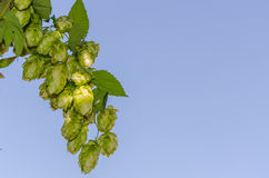 Hop plant. Close up growing on a farm stock images