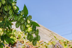 Hop plant. Close up growing on a farm royalty free stock image