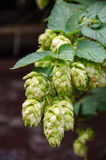 Hop plant. Close up growing on a farm stock image