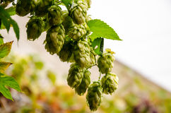 Hop plant. Close up growing on a farm Stock Photo