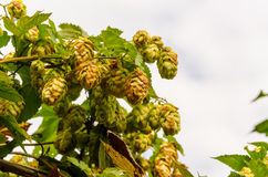 Hop plant. Close up growing on a farm Royalty Free Stock Photos