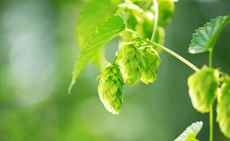 Hop plant close up growing on a hop farm Stock Photography
