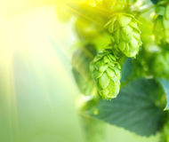 Hop plant close up growing on a hop farm Royalty Free Stock Photos