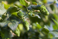 Green Hop Cones. Hop plant close up growing on a Hop farm. Fresh and Ripe Hops ready for harvesting. Beer production ingredient. Brewing concept. Fresh Hop over Stock Photos