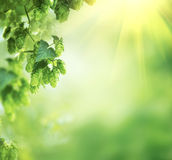 Hop Plant Close Up Growing On A Hop Farm Royalty Free Stock Photo