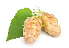 Hop plant closeup Royalty Free Stock Photo