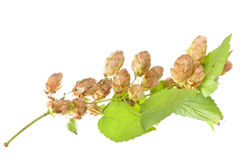 Hop plant closeup Stock Photo