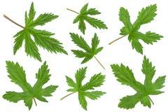 Hop plant closeup leaf collection Stock Photo