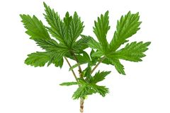 Hop plant closeup leaf Royalty Free Stock Images