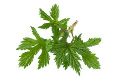 Hop plant closeup leaf Stock Image
