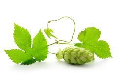 Hop plant with cone royalty free stock image