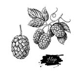 Hop plant  drawing illustration. Hand drawn artistic beer. Hop plant  drawing illustration set. Hand drawn black beer hopes with leaves on branch. Vintage Stock Photography
