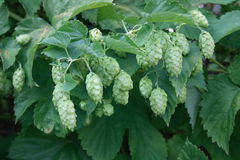 Hop plant (Humulus) Royalty Free Stock Photography