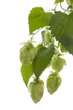 Hop plant. Royalty Free Stock Photography