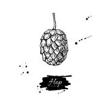 Hop plant vector drawing illustration. Hand drawn black beer hop Royalty Free Stock Photography