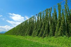 Hop plantation royalty free stock photos
