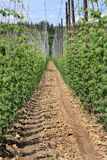 Hop plantation Stock Image