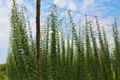 Hop plants growing and climbing on strings, Austria Royalty Free Stock Photos
