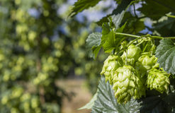 Hop Plants Growing in Rows Royalty Free Stock Images