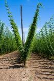 Hop plants on trellis Stock Images
