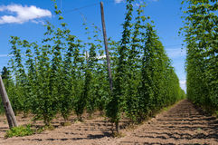 Hop plants on trellis Stock Photography