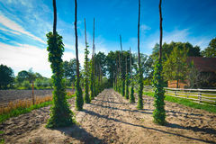 Hop poles Royalty Free Stock Images
