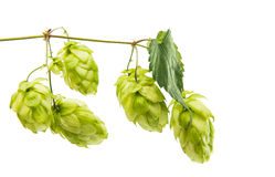 Hop raw materials for the production of beer isolated Stock Image
