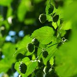 Hop is ready for harvest. Hop fruit is ready for harvesting Stock Images