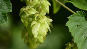 Hop. Ripe cones, spice and medicinal plant stock video