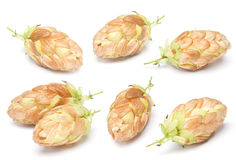 Hop ripe gold plant Royalty Free Stock Photo