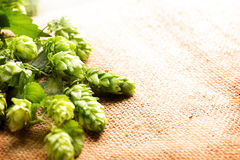 Hop on sack linen texture. Fresh Hop cones over burlap. Hop on sack linen texture. Fresh Hop cones with leaves over burlap close up. Ingredients for brewing beer Stock Image